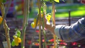 Uomo maschio dell'agricoltore che controlla e che ispeziona qualità delle piante dei pomodori organici nel campo del giardino Rac stock footage