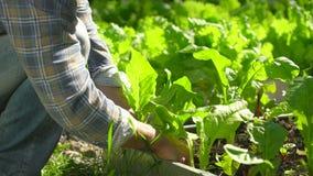 Uomo maschio dell'agricoltore che controlla qualità dell'aneto verde fresco dell'insalata della lattuga in giardino, raccogliente stock footage