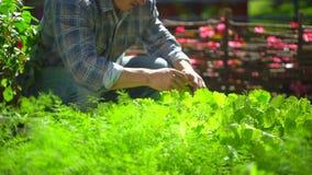 Uomo maschio dell'agricoltore che controlla qualità di lattuga verde fresca, insalata, aneto in giardino, raccogliente organico n stock footage