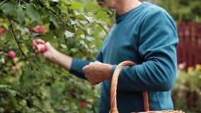 Uomo maturo caucasico che lavora nel giardino della mela stock footage