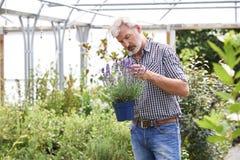 Uomo maturo che sceglie le piante al giardino Cente Fotografie Stock