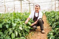 Uomo maturo dell'agricoltore che seleziona i peperoni dolci maturi in una grande serra fotografia stock libera da diritti