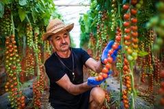 Uomo maturo nel controllo che del cappello i pomodori ciliegia rossi raccolgono nell'affare di famiglia della serra Fotografia Stock Libera da Diritti