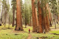 Uomo nel parco nazionale della sequoia in California, U.S.A. fotografie stock