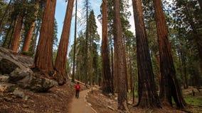 Uomo nel parco nazionale della sequoia in California, U.S.A. fotografia stock
