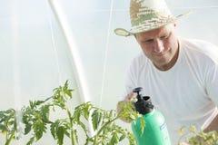 Uomo nella cura della serra circa la pianta di pomodori Immagine Stock Libera da Diritti