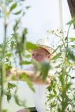 Uomo nella cura della serra circa la pianta di pomodori Fotografie Stock