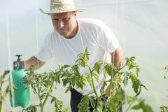 Uomo nella cura della serra circa la pianta di pomodori Fotografia Stock Libera da Diritti