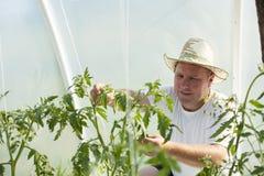 Uomo nella cura della serra circa la pianta di pomodori Immagini Stock
