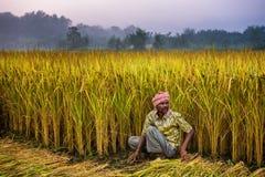 Uomo nepalese che lavora in un giacimento del riso Fotografia Stock
