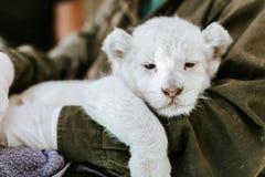 Uomo in rivestimento verde che tiene leone bianco simile a pelliccia sveglio fotografia stock