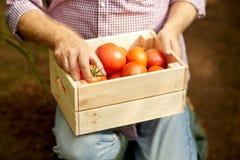 Uomo senior o agricoltore con la scatola di pomodori all'azienda agricola Fotografie Stock Libere da Diritti