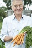 Uomo senior su assegnazione che tiene le carote di recente selezionate Immagine Stock