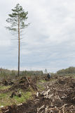 Uomo solo fra legname abbattuto Un albero alto Immagine Stock