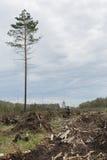Uomo solo fra legname abbattuto Un albero alto Immagini Stock