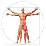 Uomo umano di Vitruvian di anatomia Immagine Stock Libera da Diritti