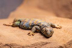 Ornate spiny tailed lizard, Uromastyx ornata, resting on a rock royalty free stock image