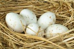 Uova bianche domestiche organiche nel nido della paglia Fotografia Stock Libera da Diritti