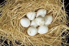 Uova bianche domestiche organiche nel nido della paglia Fotografie Stock Libere da Diritti