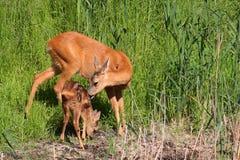 Uova-cervi con il bambino Fotografia Stock