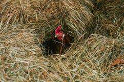 Uova da cova del pollo in un mucchio di fieno fotografia stock