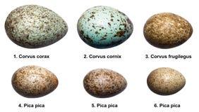 Uova degli uccelli della famiglia del corvo (corvids). Fotografie Stock