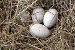 Uova del cigno nel nido Fotografia Stock
