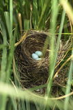 Uova del merlo nel nido immagini stock