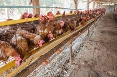 Uova del pollo dell'azienda agricola Fotografie Stock