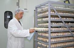 Uova del pollo in incubatrice immagini stock libere da diritti