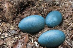 Uova dell'emù fotografia stock libera da diritti