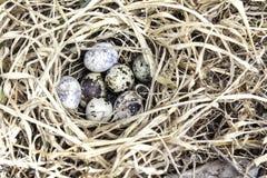 Uova dell'uccello in nido Fotografia Stock