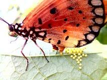 Uova della farfalla Immagine Stock