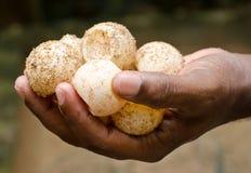 Uova delle tartarughe verdi Immagini Stock