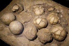 Uova di dinosauro nel nido Fotografie Stock Libere da Diritti