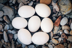 Uova di gallina fotografia stock libera da diritti