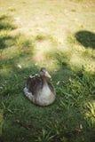 Uova di incubazione dell'anatra sull'erba fotografia stock
