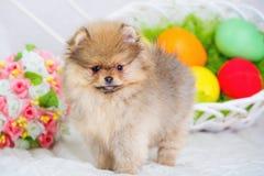 Uova di Pasqua e cucciolo lanuginoso del cane dello spitz Fotografia Stock Libera da Diritti