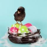 Uova di Pasqua E del pollo Immagine Stock Libera da Diritti