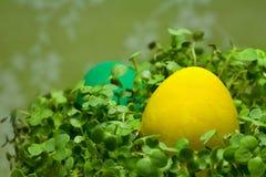 Uova di Pasqua In erba verde fresca Immagini Stock