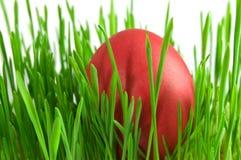 Uova di Pasqua rosse in erba verde con il backgrou bianco Immagine Stock