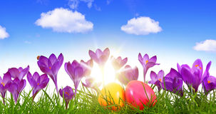 Uova di Pasqua variopinte e croco porpora Fotografie Stock