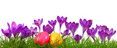 Uova di Pasqua variopinte e croco porpora Fotografia Stock Libera da Diritti