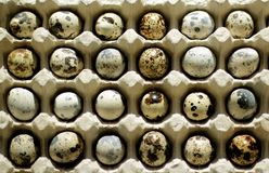 Uova di quaglia macchiate Immagine Stock Libera da Diritti