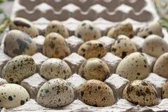 Uova di quaglia nell'imballaggio del cartone Fotografie Stock Libere da Diritti