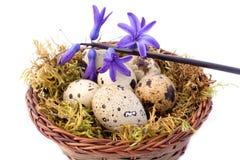 Uova di quaglie e giacinto blu Fotografia Stock