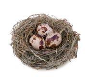 Uova di quaglie nel nido Fotografia Stock
