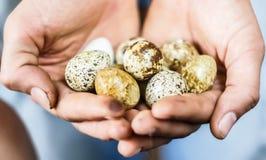 Uova di quaglie nelle mani Fotografia Stock