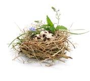 Uova di quaglie in un nido isolato su bianco Immagine Stock