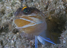 Uova di trasporto del Jawfish in bocca Fotografia Stock Libera da Diritti